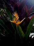 FLOWER OF PARADISE