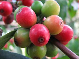 Biocombustibles con café