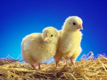 external image pollos.jpg