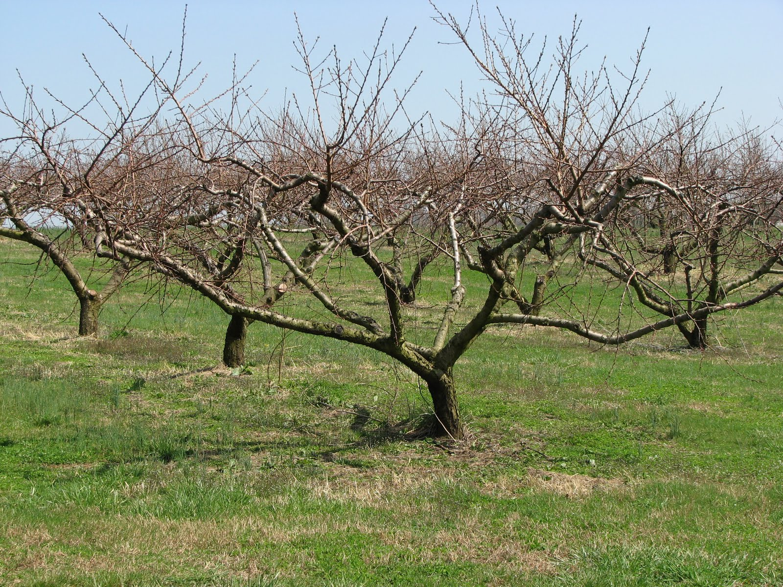 Awesome When Do You Prune Fruit Trees Part - 8: Pruning Any Fruit Tree Should Take Three Years To Get The Structure Correct  And Then Followed By A Lifetime Of Annual Pruning.