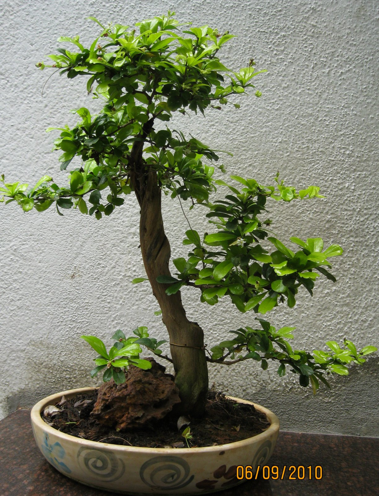 Bodhi Bonsai Chennai India Fukien TeaAge 4 Years