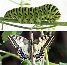 Les chenilles et leurs papillons