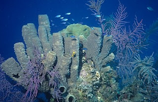 Caribbean sponges and sea plumes, Little Cayman