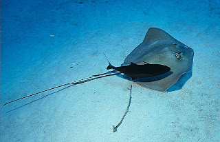 Southern Stingray with Bar Jack