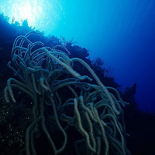 Bushy Sea Whips (Plexaurella nutans)