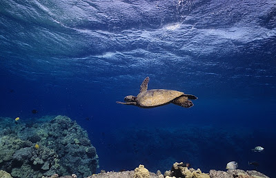 A green sea turtle swims below the surface at Puako, Hawaii