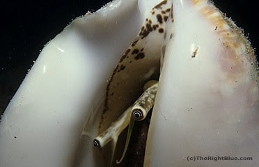 Milk Conch