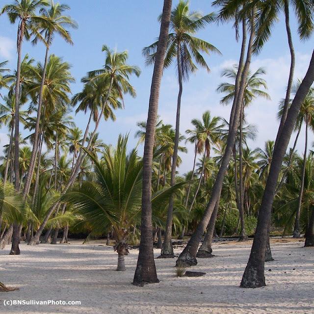 Coconut Palms (Cocos nucifera)