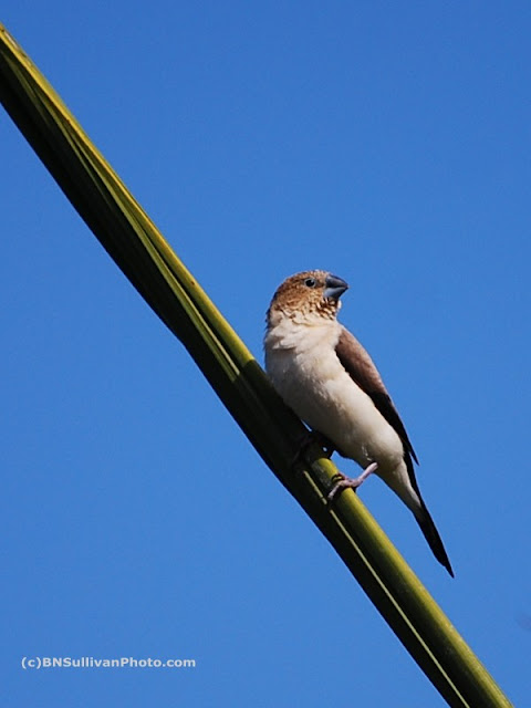 Warbling Silverbill (Lonchura malabarica)
