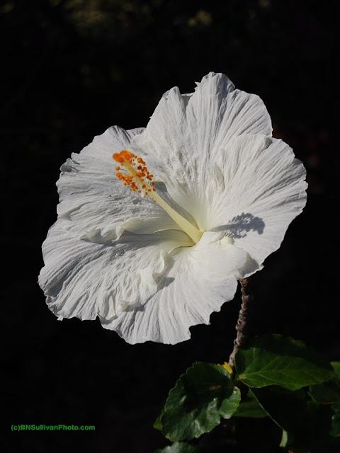 'Bridal Veil' hibiscus