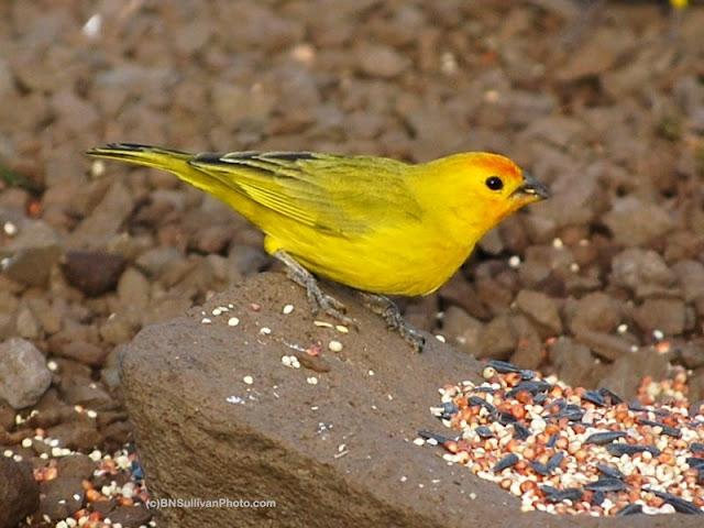 Male Saffron Finch (Sicalis flaveola)