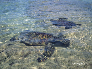 Hawaiian Green sea turtles (Chelonia mydas)