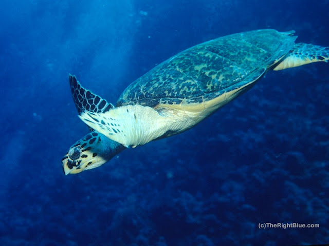 Hawksbille Sea Turtle (Eretmochelys imbricata)