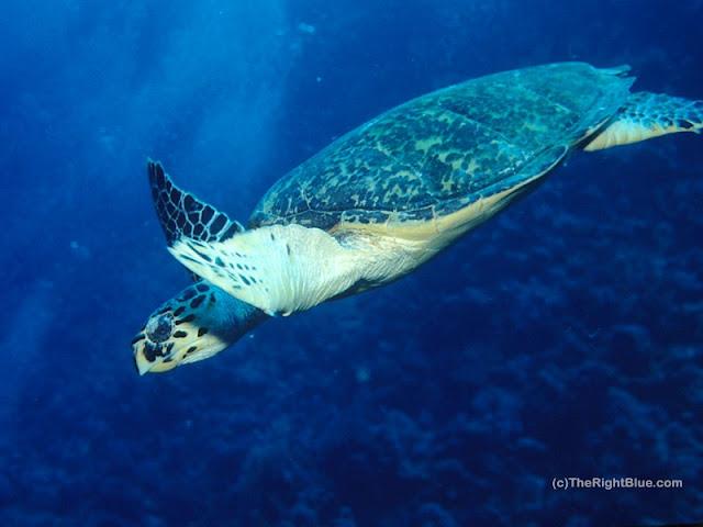 Hawksbille Sea Turtle (Eretmochelys imbricata)