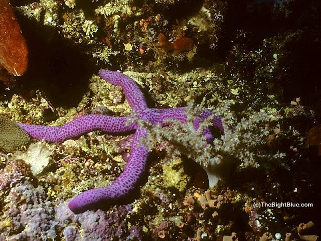 Sea Star (Linckia multifora)