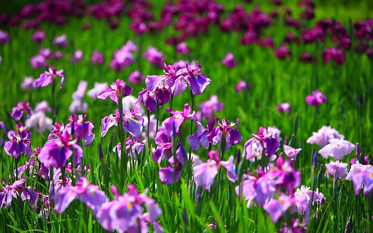 Free Wallpapers Iris Flower Wallpapers