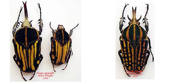 Flickriver: cetoniidae, dynastidae, lucanidae's most ...