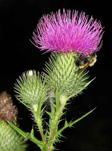 Thistle: The National Flower of Scotland