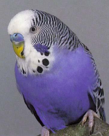 parakeet colors - photo #12