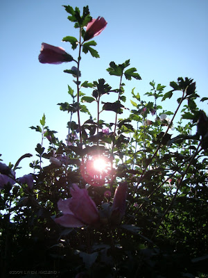 Rose of Sharon - 2009