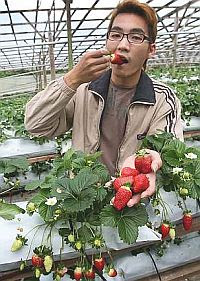 Juicy fruit: Yeep tasting a freshly plucked strawberry at his family farm. - The Star.