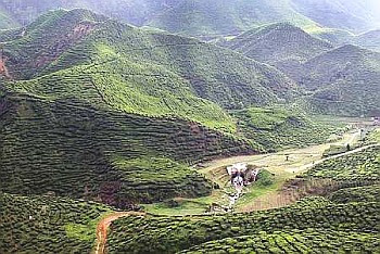 Panoramic: Visitors to the Cameron Bharat Tea House located on the road side between Tanah Rata and Ringlet in Cameron Highlands will be treated to this breathtaking view of the plantation's rolling hills and manicured tea bushes.