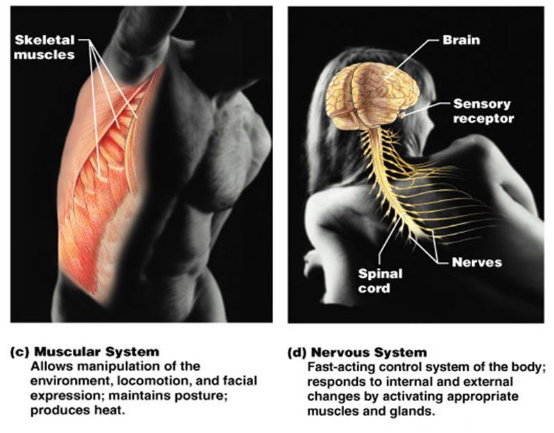 Toosogie Medical Images Organ Systems Of The Body Muscular System