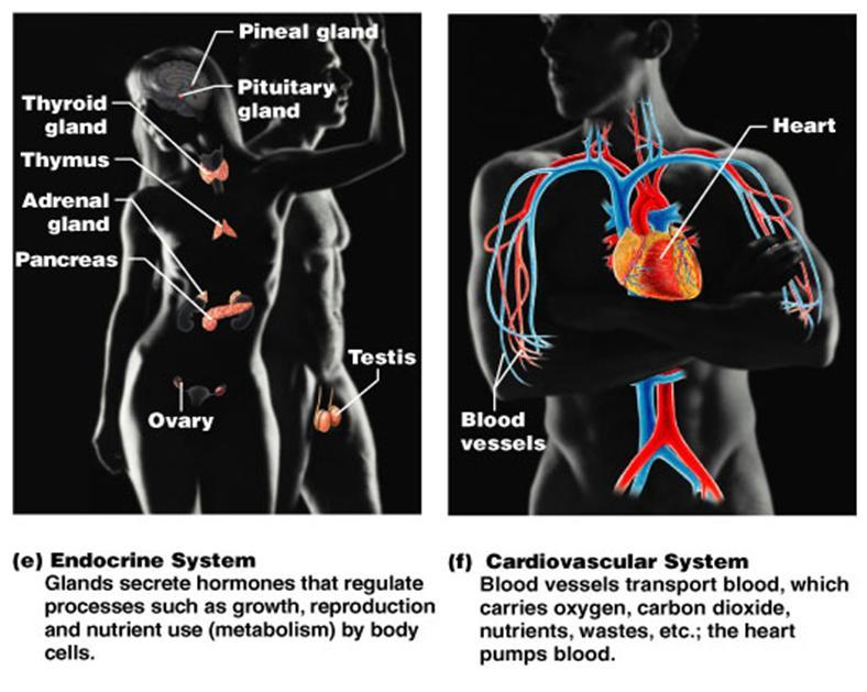 Toosogie Medical Images Organ Systems Of The Body Endocrine