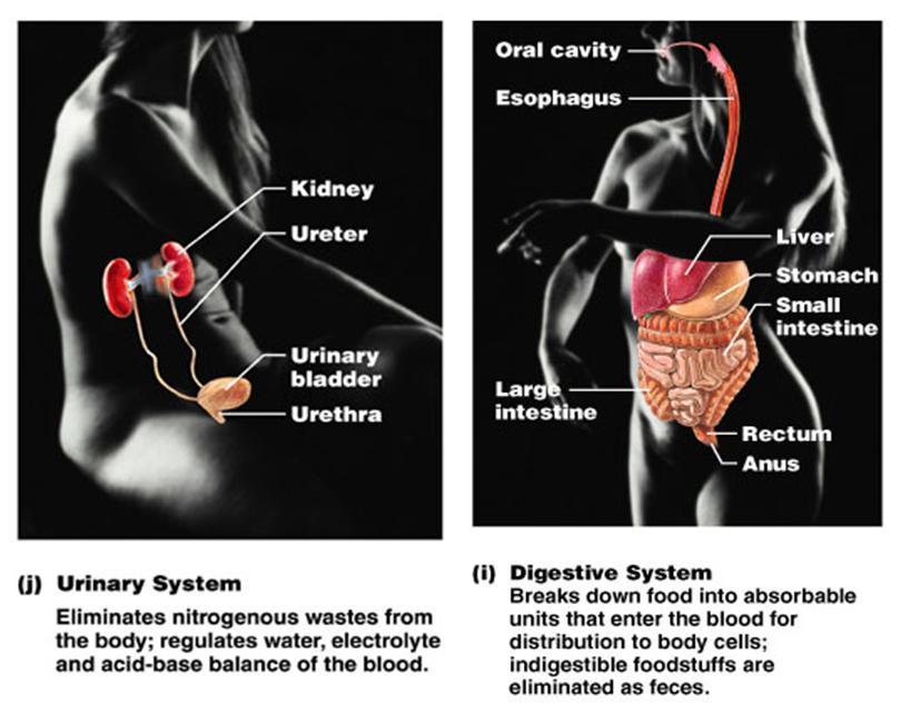 circulatory system diagram blank. circulatory system diagram blank. circulatory system diagram