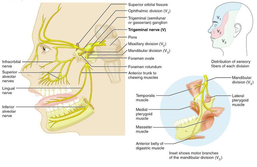 Unique Seventh Cranial Nerve Ensign Human Anatomy Images