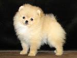 Популярные породы маленьких собак