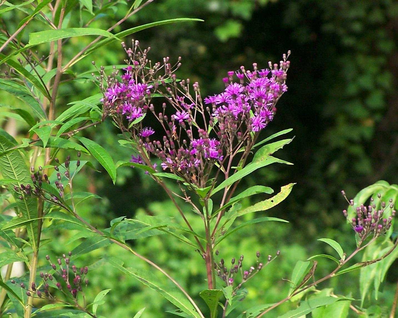 The peace bee farmer joe pye weed in bloom for Joe pye weed