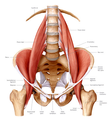 Muscle Of Lower Back: The Psoas - Back Pain And Fitness