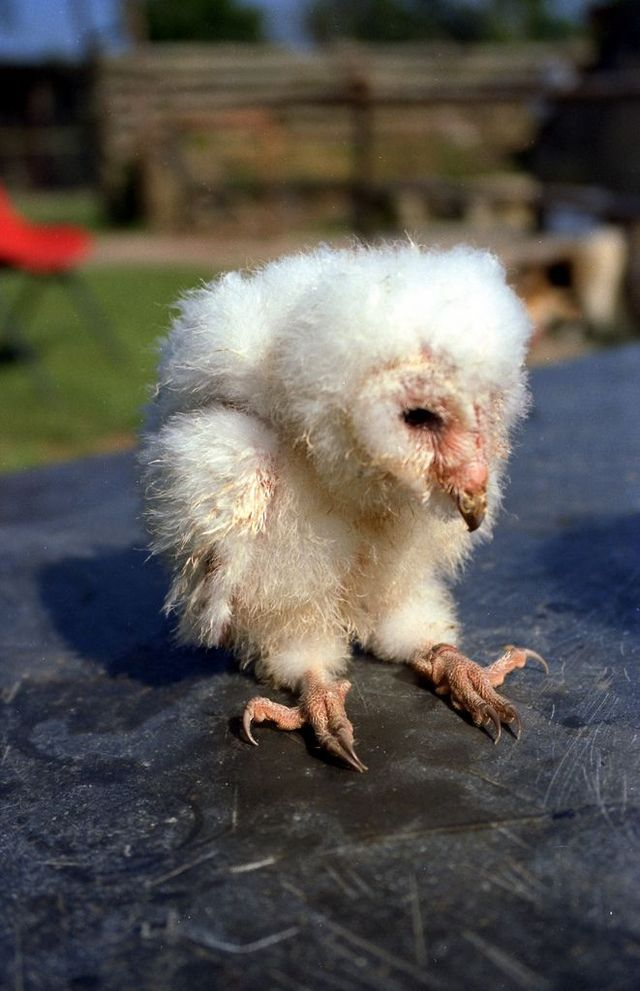 Edge Of The Plank Cute Animals Baby Owls