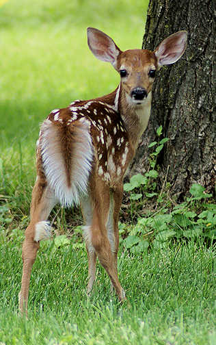 Edge Of The Plank: Cute Animals: Baby Deer - photo#42