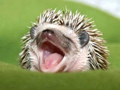 baby hedghogs