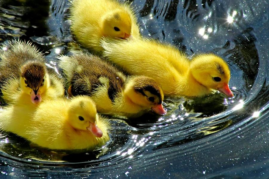 Edge Of The Plank: Cute Animals: Ducklings and Swan Babies