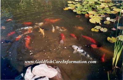 One Of The Many Ponds At Country Koi Fish Farm With Goldfish, Sarassa Comets, Koi and Butterfly Koi. It Also Includes Many Different Types of Water Lilies and Yellow Flag Water Iris along With Other Types Of Marginals.