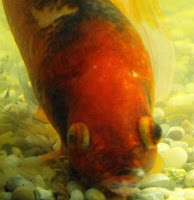 Goldfish Suffering From Dropsy