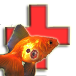 Fantail Goldfish Sick With Ulcer