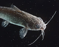 Channel Catfish With Severe Ich Infestation Noticed On Fish As Like Small Grains Of Salt Which Are Attached Parasites