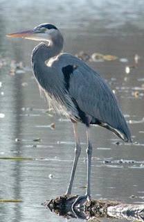 Heron - Pond Fish Predator