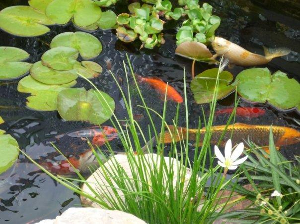 How to take care of goldfish in a garden pond goldfish for Goldfish pond