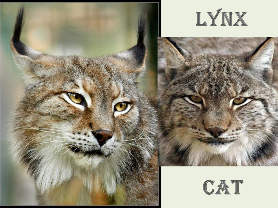 cat lynx autumn foliage - photo #30