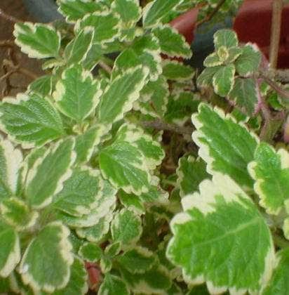 Hierbas y plantas medicinales incienso for Hierbas y plantas medicinales