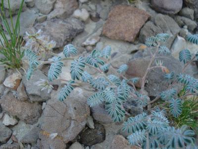 Tanaman Kebangkitan (Selaginella Lepidophylla)