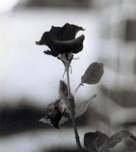 rose!!