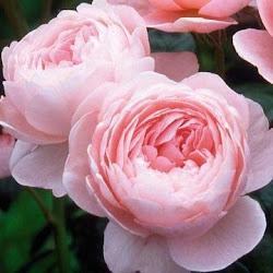 Siempre el rosa.