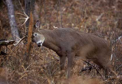 Big Buck Whitetail Deer Hunting