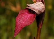 Orquideas de Extremadura